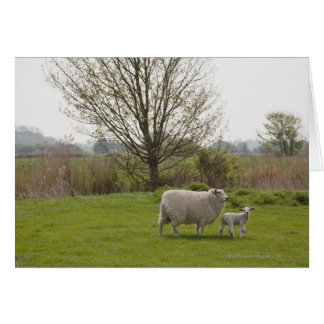 Sheep with lamb in field card