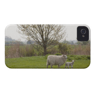 Sheep with lamb in field iPhone 4 Case-Mate cases