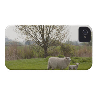 Sheep with lamb in field iPhone 4 cases