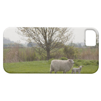 Sheep with lamb in field iPhone 5 case