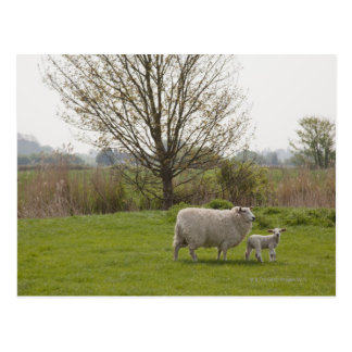 Sheep with lamb in field postcard