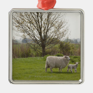 Sheep with lamb in field Silver-Colored square decoration