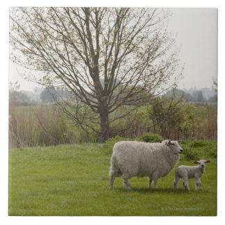Sheep with lamb in field tile