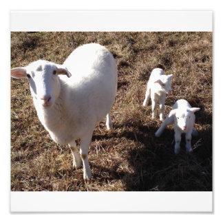 sheep with twin lambs photo