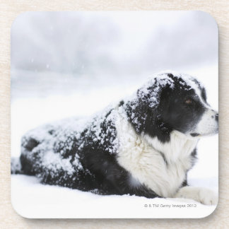 Sheepdog (Akbash/collie mix) lying out during Coaster