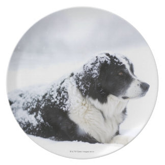 Sheepdog (Akbash/collie mix) lying out during Plate