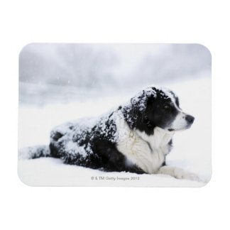 Sheepdog (Akbash/collie mix) lying out during Rectangular Photo Magnet