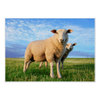 Sheeps on country poster