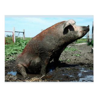 Sheila, my big fat pig postcard