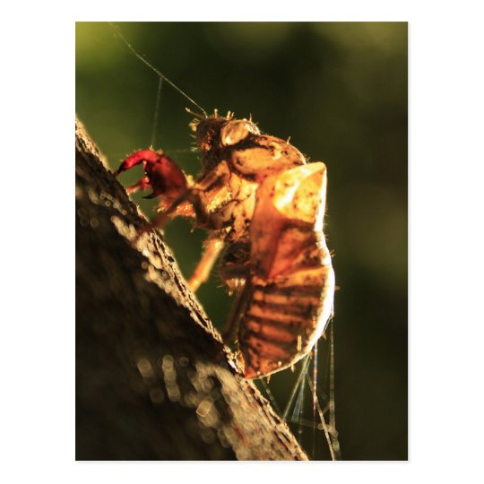 Shell Of A Cicada Postcard