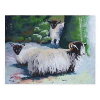 Sheltering Sheep Postcard