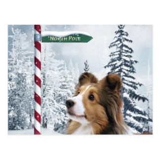 Sheltie Christmas Postcard