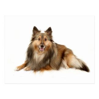 Sheltie or Shetland Sheepdog Postcard