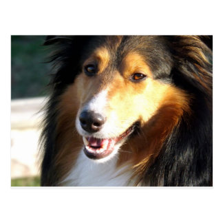 Sheltie Postcard