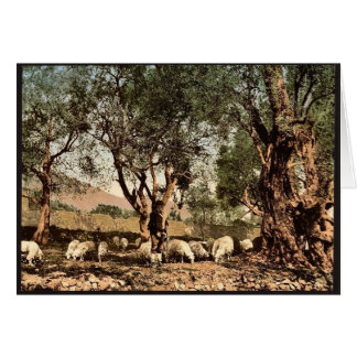 Shephard tending sheep in olive grove, Mentone, Ri Greeting Card