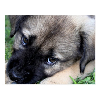 Shepherd Puppy Photo Postcard