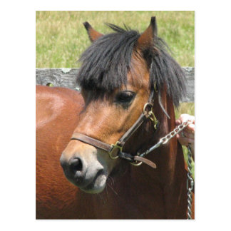 Shetland Pony Design Postcard