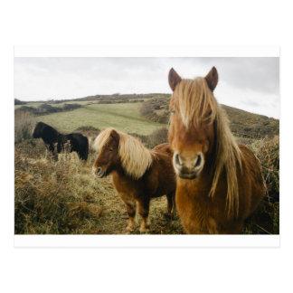 Shetland Pony Horse Ponies Horses Field Postcard
