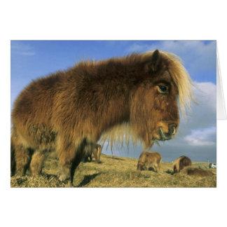 Shetland Pony, mainland Shetland Islands, 2 Greeting Card