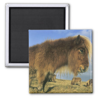 Shetland Pony, mainland Shetland Islands, 2 Square Magnet