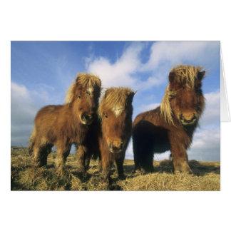 Shetland Pony, mainland Shetland Islands, Greeting Card