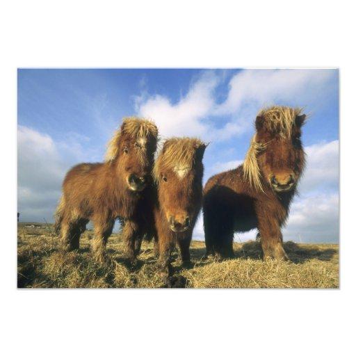 Shetland Pony, mainland Shetland Islands, Photo Art