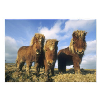 Shetland Pony, mainland Shetland Islands, Photo Print