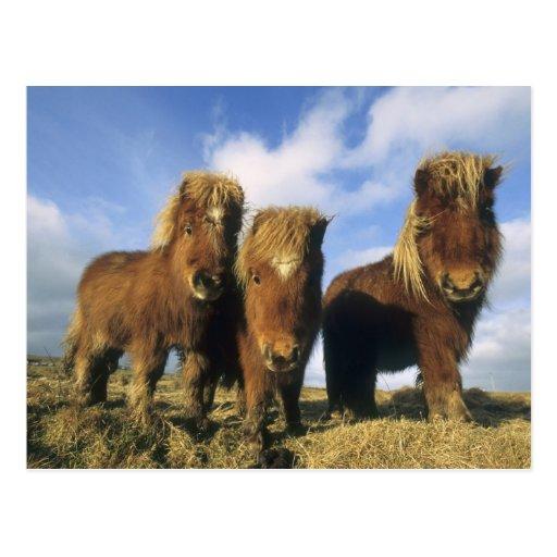 Shetland Pony, mainland Shetland Islands, Postcard