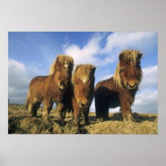 Shetland Pony, mainland Shetland Islands, Poster