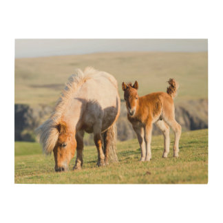 Shetland Pony On Pasture Near High Cliffs, Mare Wood Wall Decor