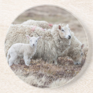 Shetland Sheep 2 Coaster