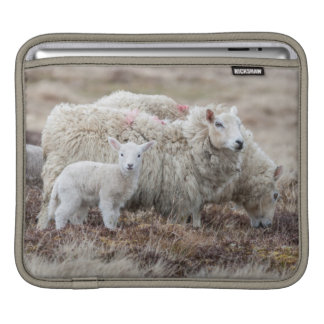 Shetland Sheep 2 iPad Sleeve