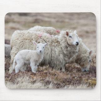 Shetland Sheep 2 Mouse Mat