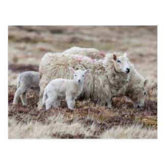 Shetland Sheep 2 Postcard