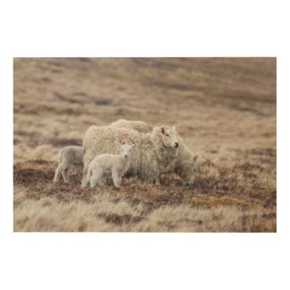 Shetland Sheep 2 Wood Canvas