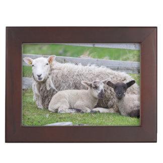 Shetland Sheep 3 Keepsake Box