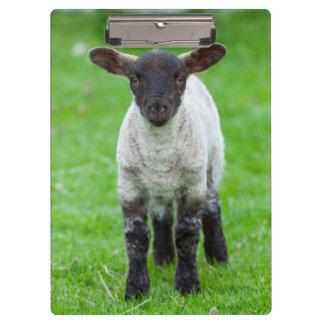 Shetland Sheep 4 Clipboard