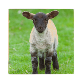 Shetland Sheep 4 Wood Coaster