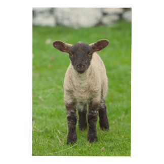 Shetland Sheep 4 Wood Print