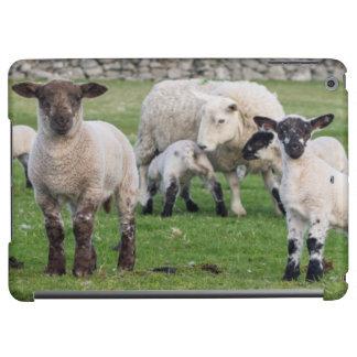 Shetland Sheep 5