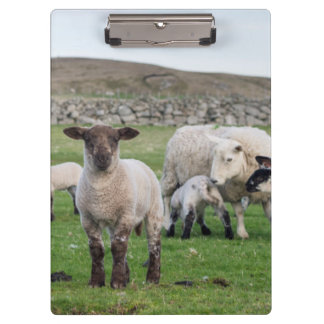 Shetland Sheep 5 Clipboard