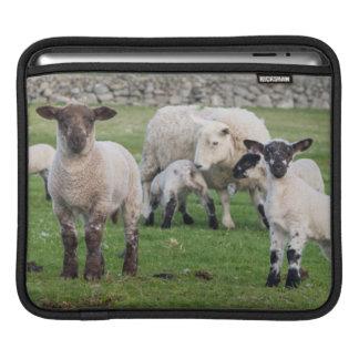 Shetland Sheep 5 iPad Sleeve
