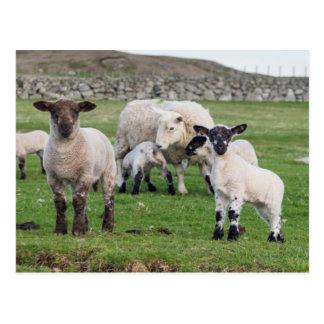 Shetland Sheep 5 Postcard