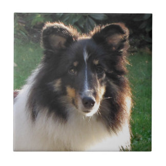 Shetland Sheep Dog Tile