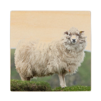 Shetland Sheep Wood Coaster