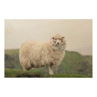 Shetland Sheep Wood Print