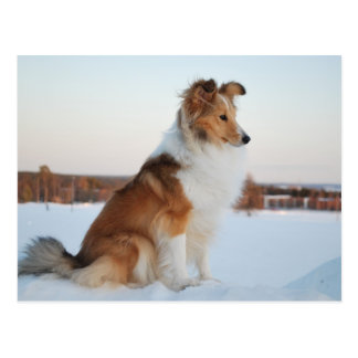 Shetland sheepdog paper product postcard