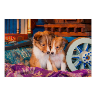 Shetland Sheepdog puppies sitting by wooden wagon Poster