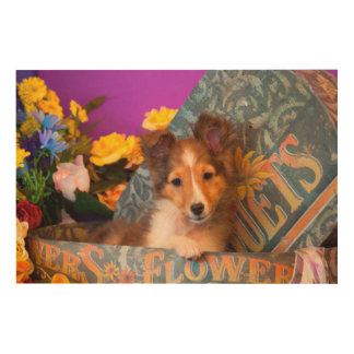 Shetland Sheepdog puppy in a hat box Wood Print