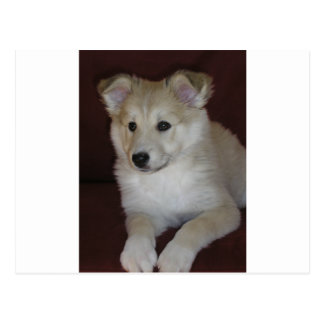 shetland sheepdog puppy postcard